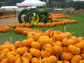 Picha Farms Pumpkin Patch In Puyallup Wa